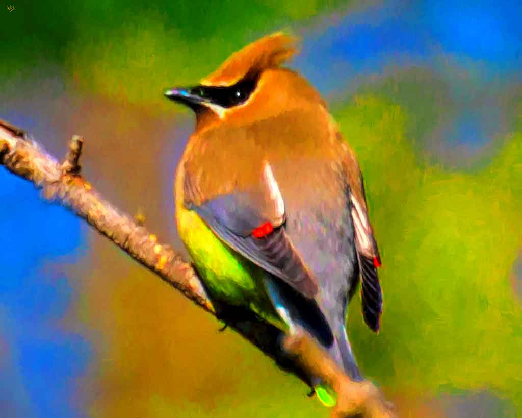 Colorful Cedar Waxwing on a twig, digital oil painting and Art Canvas Print by Wieslaw Sadurski