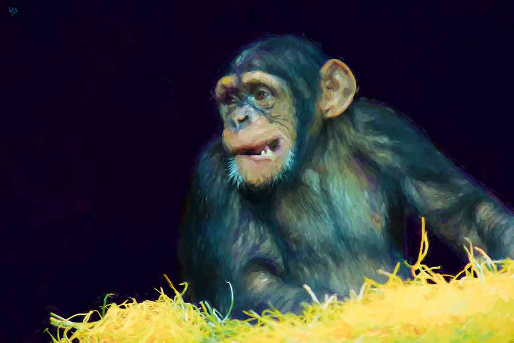 Chimpansee in the night, digital portrait painting on Art Canvas Print by Wieslaw Sadurski
