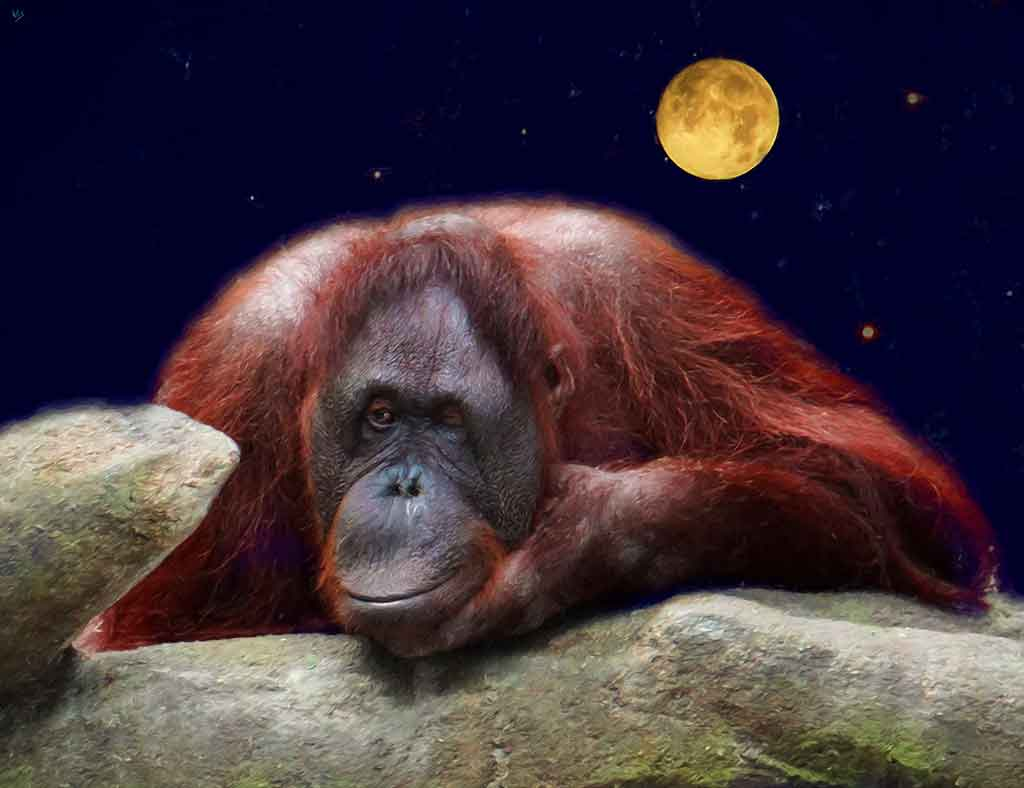 Orangutan Winking, digital portrait painting on Art Canvas Print by Wieslaw Sadurski