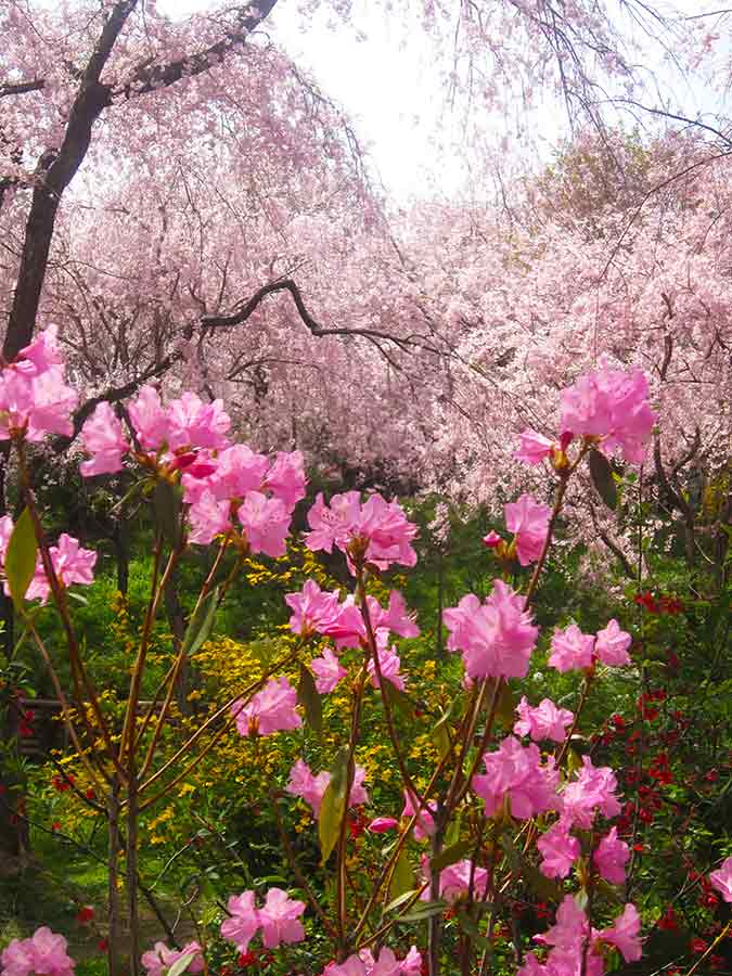 Rhododendron flowers against blossoming cherries Haradani Garden Kyoto, photo by Wieslaw Sadurski