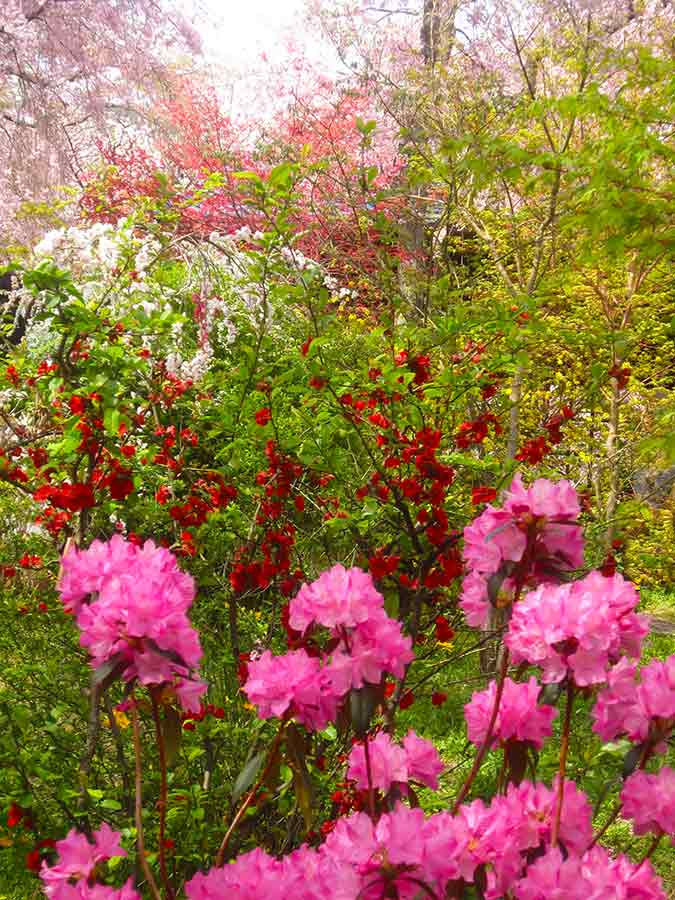 Rhododendron against various flowers Haradani Garden Kyoto, photo by Wieslaw Sadurski